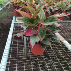 Aglaonema Red
