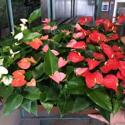 Anthurium Assorted Tropical Flower