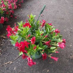 Dipladenia Hanging Basket Red