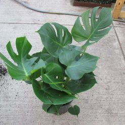 Philodendron 'Split Leaf'