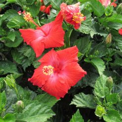 Hibiscus Standard President Red