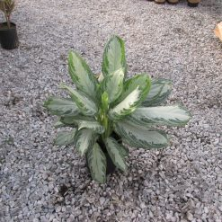 Aglaonema 'Assorted'